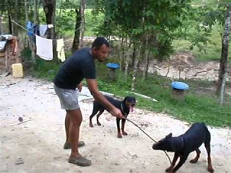 rottweiler malaysia rottweiler attacking in malaysia