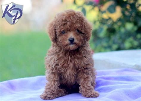 standard poodle puppies for sale in pa 34 best images about poodle puppies on poodles poodle puppies and