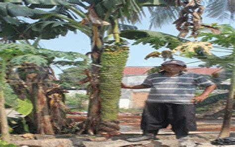 Bibit Pohon Pisang Seribu heboh pisang seribu panjang dua meter milik dasuki