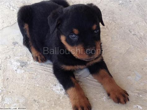 teacup rottweiler chiot rottweiler royal teacup importer animaux gt animaux de compagnie ref 55569