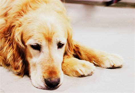 when do golden retrievers settle golden retriever rescue resource senior golden retriever adoptions
