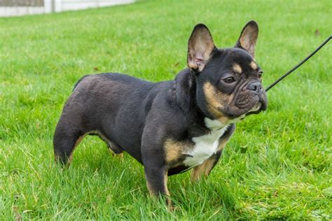 rottweiler bulldog 9 rottweiler mixes you need to check out the rottweilers
