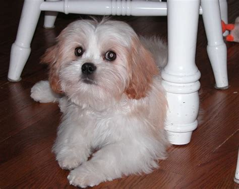 cava shih tzu 10 cavalier king charles spaniel cross breeds you to see to believe