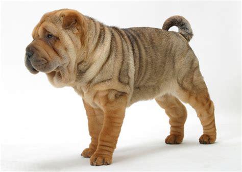 wrinkly breeds adorably wrinkled breeds fancast