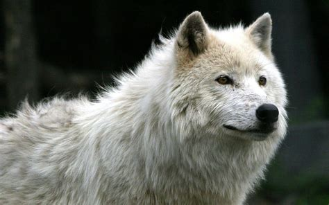white wolf wallpapers wallpaper cave white wolf wallpapers wallpaper cave