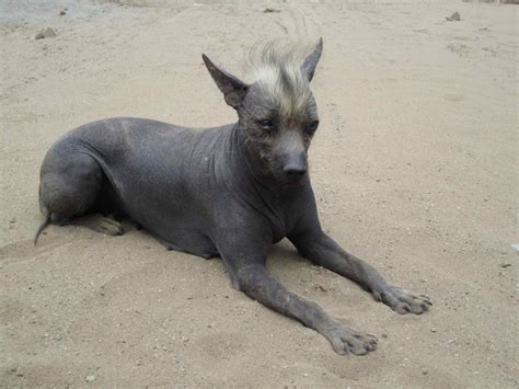 hairless puppy five hairless breeds s best friends featured creature