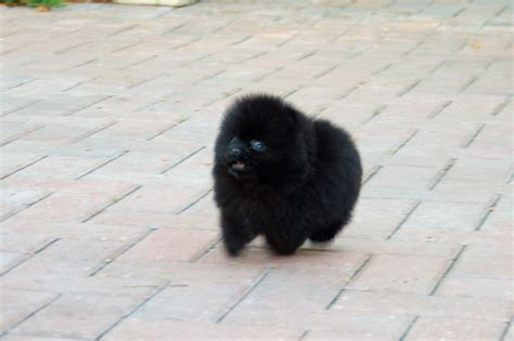 black pomeranian puppies for sale pomeranian puppies for sale puppies for sale pomeranian breeds picture