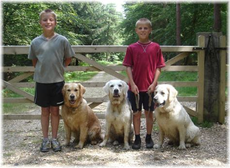 golden retrievers and children teach children golden retriever care