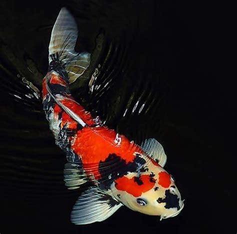 Bibit Ikan Nila Blitar komunitas ikan koi indonesia home