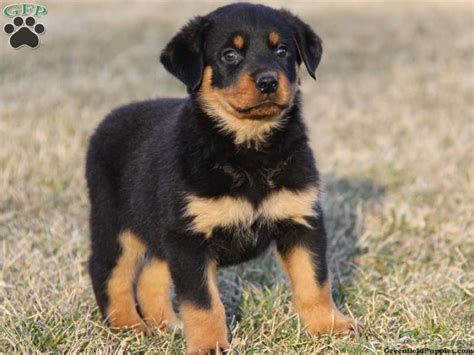 rottweiler and pomeranian the gallery for gt rottweiler pomeranian mix