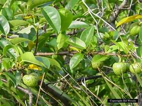 Red Spots On Fruit Tree Leaves - florida native trees amp shrubs page 2 of 11