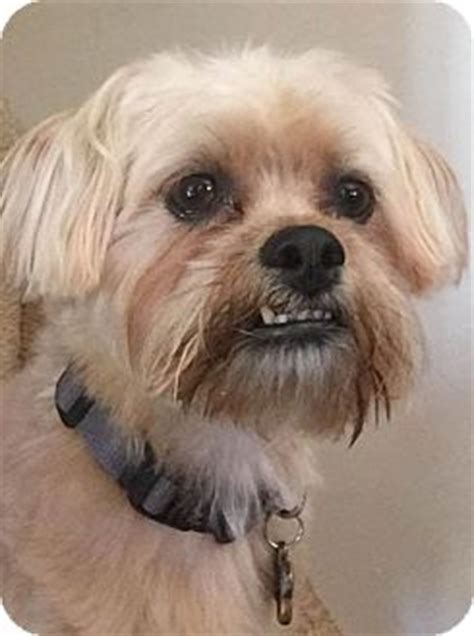 silky shih tzu shih tzu silky terrier mix for adoption in indianapolis indiana buster