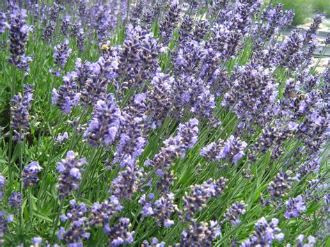 planting care sunshine lavender farm