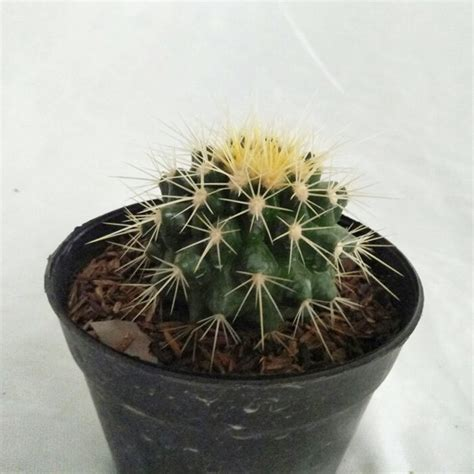 Bibit Tanaman Orange Siklam Cactus bibit tanaman kaktus tipe 3 new best buy indonesia
