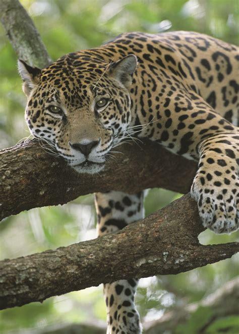 adopt a jaguar wildlife adoption and gift center