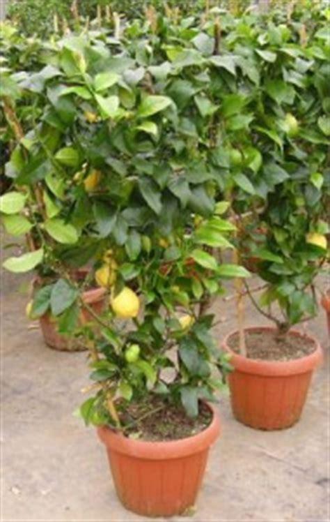 coltivare limone in vaso coltivare agrumi in vaso in autunno giardinaggio piante