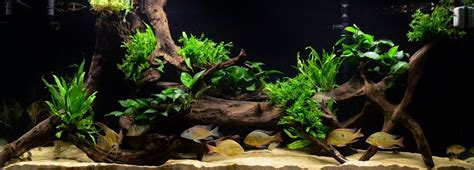 american aquascapes 850l south american aquarium update youtube