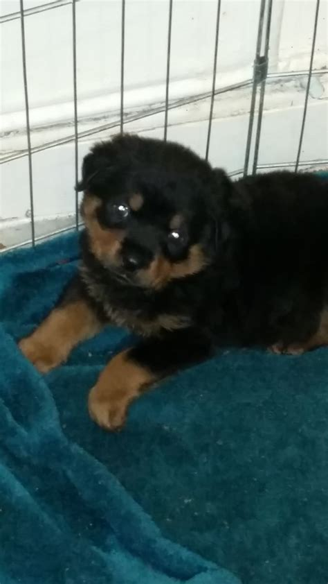rottweiler puppies for sale manchester rottweiler puppies for sale wigan greater manchester pets4homes
