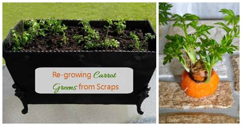 growing carrot greens  scraps  earth day