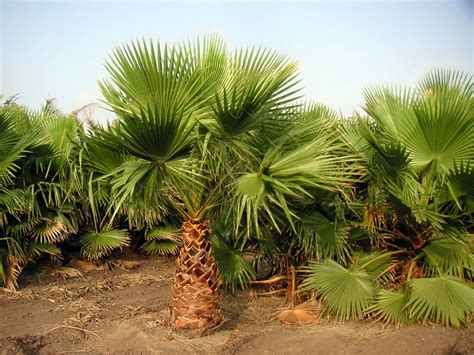 pictures of different breeds different palm tree types