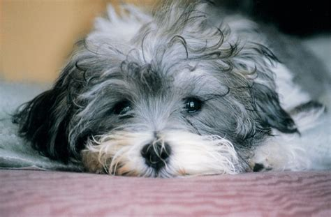 are havanese dogs smart havanese wallpaper 27 background wallpaper dogbreedswallpapers