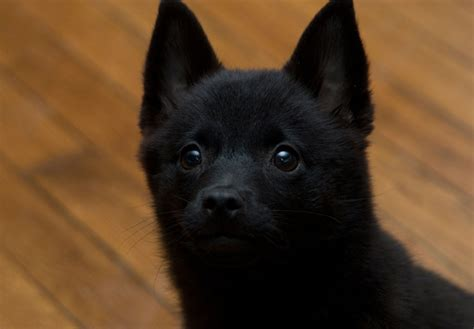 schipperke puppies schipperke puppies for sale akc puppyfinder