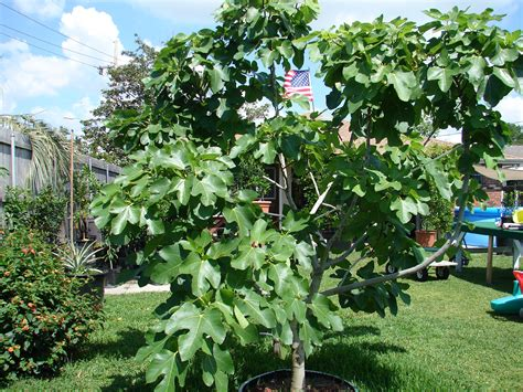 fruiting fig tree fig fruit tree www pixshark images galleries with