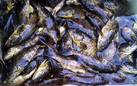 Pakan Larva Ikan Kerapu cara budidaya ikan kerapu