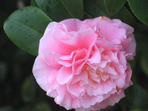 fiori camelia coltivazione camelia camellia japonica camellia