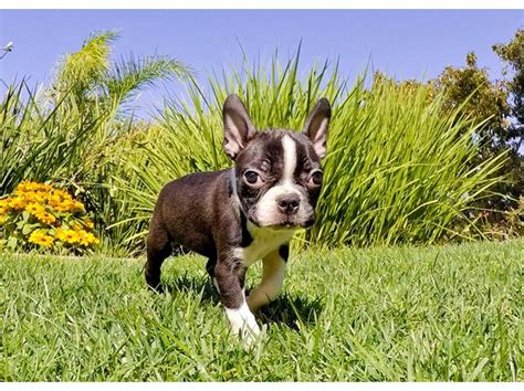 boston terrier puppies for sale in california boston terrier breeder in california picture breeds picture