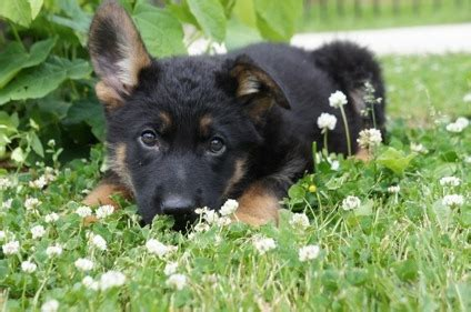 german shepherd puppies for sale in chicago german shepherd puppies for sale for sale in chicago illinois classified