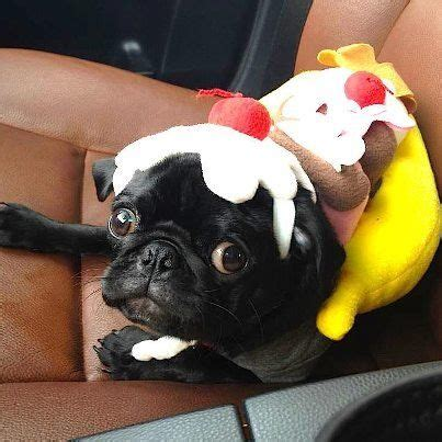 pugs dressed as things 25 best ideas about pugs dressed up on pugs a pug and pugs