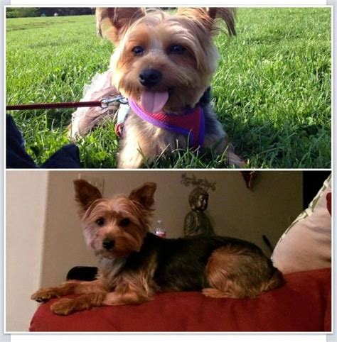 yorkie rescue fort worth 104 best images about lost dogs tx on chihuahuas color 2 and fort worth