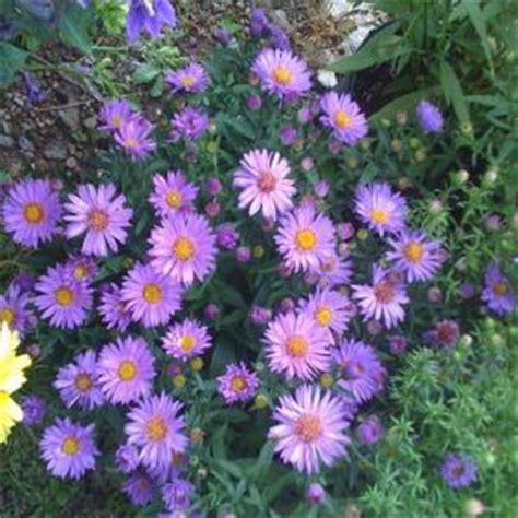 onlineplantcenter  gal woods purple  york aster