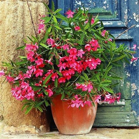 oleandro in vaso oleandro coltivarlo nelle nostre
