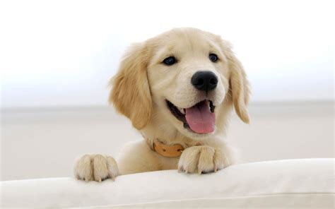 puppy wallpaper golden retriever puppy wallpapers hd wallpapers id 5009