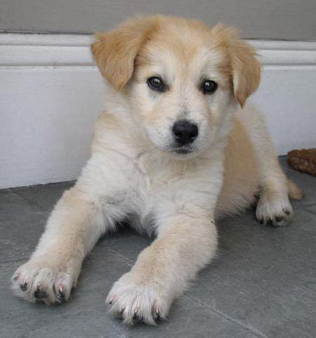chihuahua and golden retriever mix golden retriever corgi mix