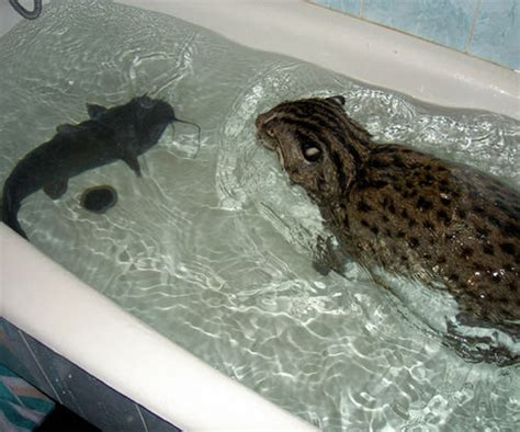fish in bathtub fishing cat in russia cats eat you and huge fish in the