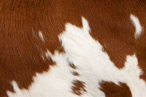 How To A Cowhide - royalty free cowhide pictures images and stock photos