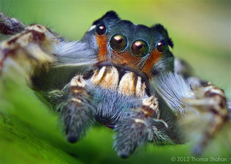 portrait   adult male phidippus putnami jumping spider