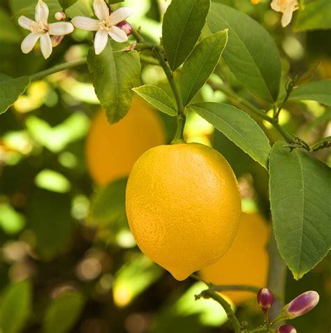 meyer lemon tree buy meyer lemon tree free shipping 99 99