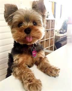 Big Dog Bed Best 25 Yorkie Puppies Ideas On Pinterest Yorkshire