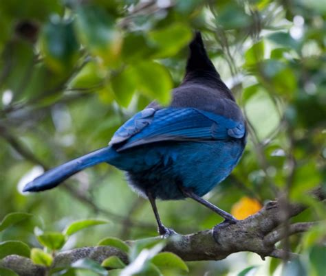 avian explorer 187 blog archive 187 steller jay