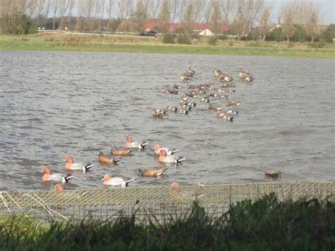 attelage canard hutte chasse le forum de palombe chasse du canard dans les landes