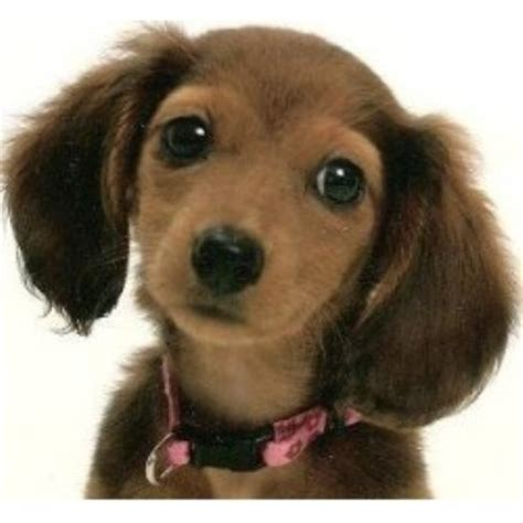 dachshund puppy rescue tiny miniature dachshund rescue breeds picture