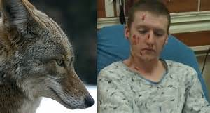 will a coyote attack a pack of coyotes attack humans www imgkid the image kid has it