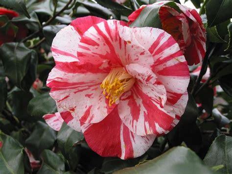 camelia fiori la camelia camellia japonica camellia japonica