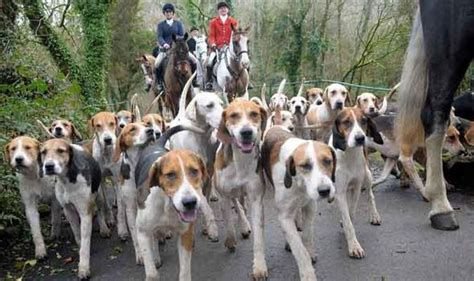 how to a hound to hunt howling of the hounds threatens historic hunt uk news express co uk