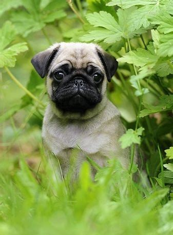 pug chasing 1000 ideas about pugs on pug pug puppies and pug puppies