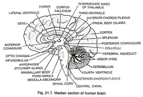 median section of brain structure of human brain